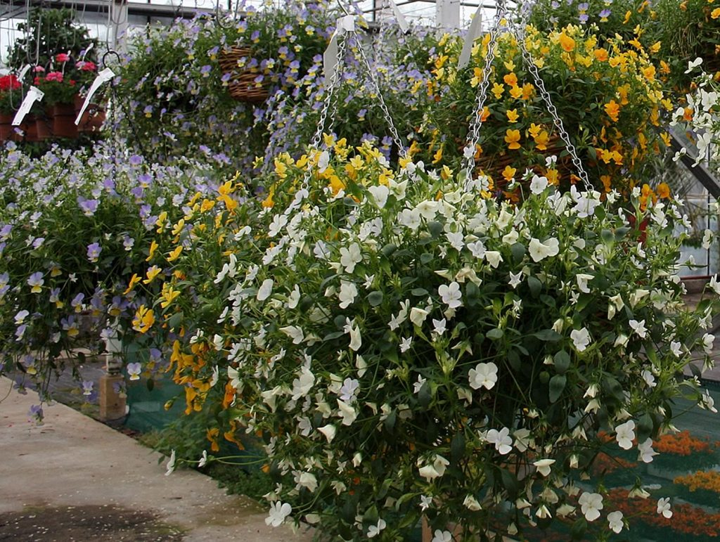 Large hanging baskets