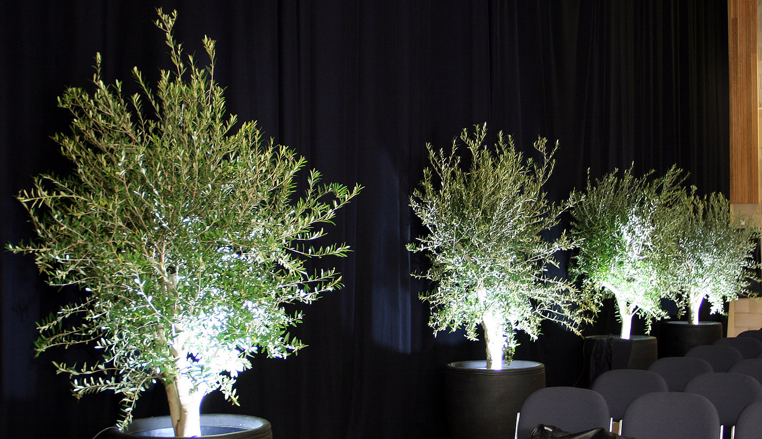 Olive Trees with up lighting