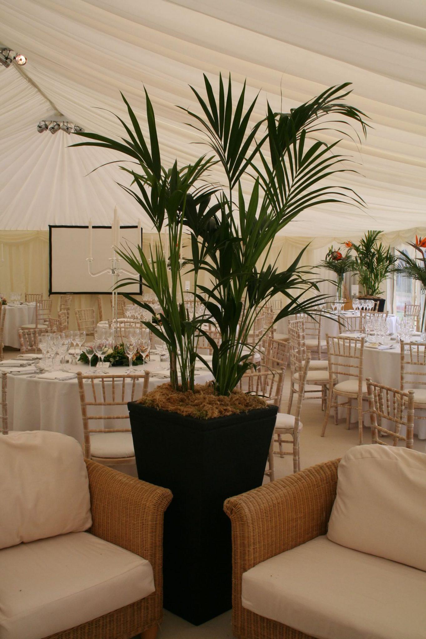 Kentia Palm in a marquee