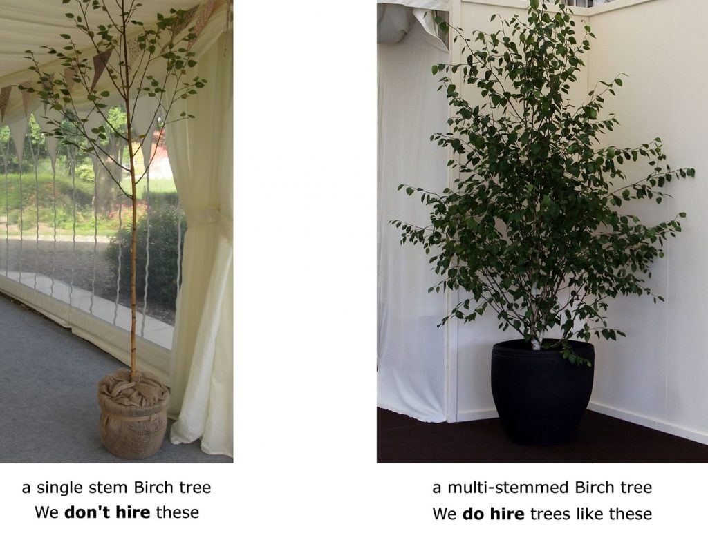 Compare a single stemmed Birch tree to a multi-stemmed tree