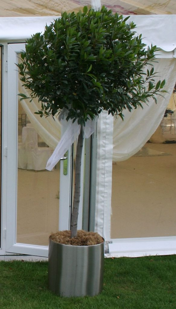 Extra large 2.2M tall Bay tree lollipops outside a marquee for a private wedding