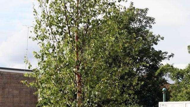 4M Feathered Birch Tree Chippenham town centre 2