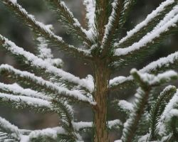 Spruce tree hire Fir covered with artificial snow