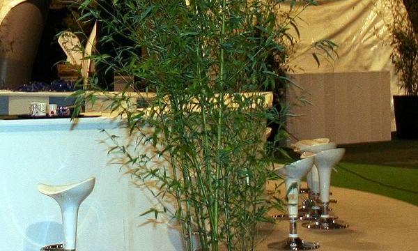 Medium bamboo @ Telford International Centre