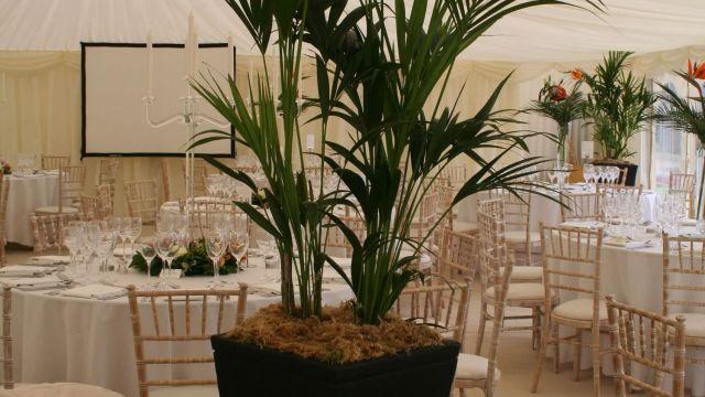 kentia-palm-inside-a-marquee