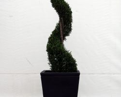 Large topiary spiral in a tall tapered vase
