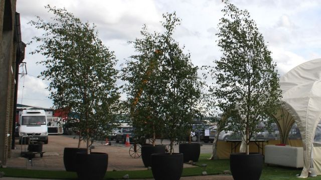 Large Birch trees blowing in the wind