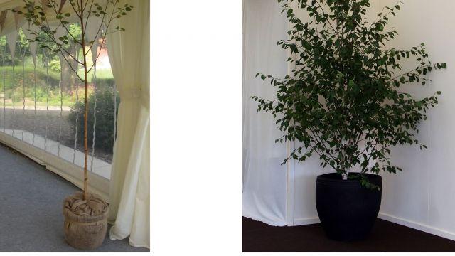 Compare a single stemmed Birch tree to a multi-stemmed tree