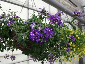 hire-hanging-basket-floral-displays-purple-and-yellow