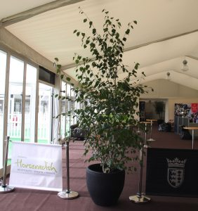 Birch trees hired for the start of the racing season @ Chester Race Course.