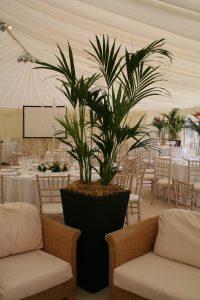 hire-kentia-palm-marquee