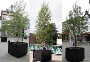 Large multi-stemmed Birch trees out on a long-term 10 year hire for a local authority.