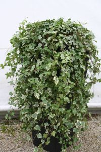 hire-trailing-ivy