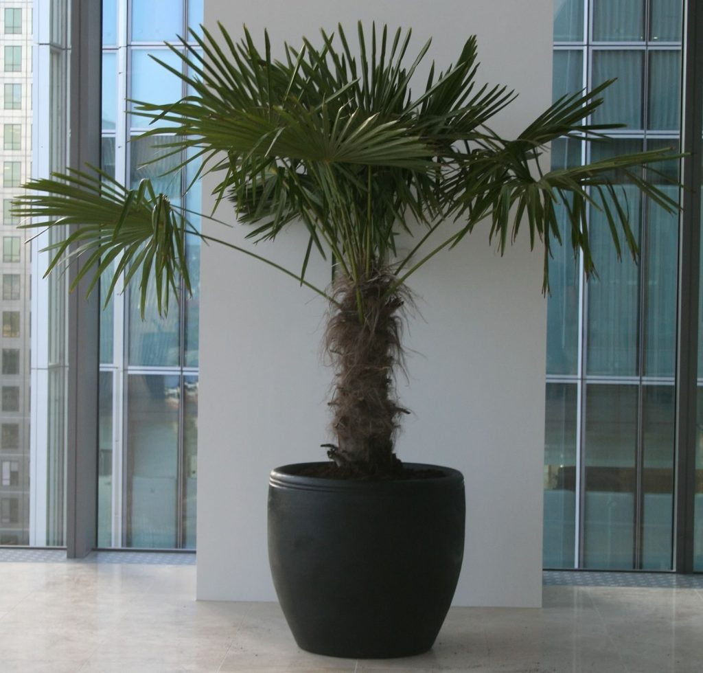 KPMG Hire Palm Trees for their venue in Canary Wharf, London.
