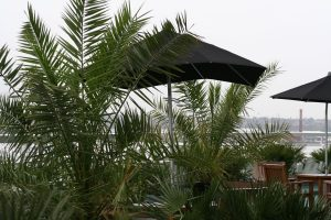 Liverpool rooftop jungle canary island palms and dwarf palms