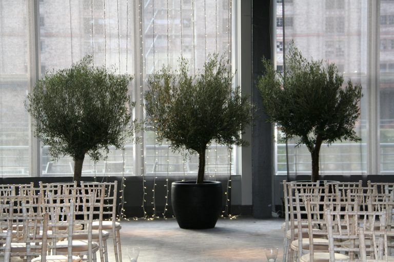 stunning mature Olive trees at a private wedding in Liverpool Titanic Hotel