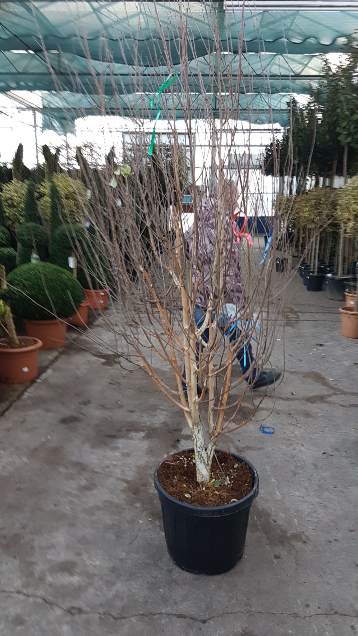 new hire range of multi-stemmed Birch wedding trees without leaves