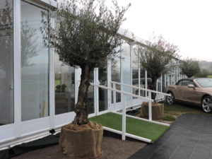 large mature olive tree hire range with gnarled trunks